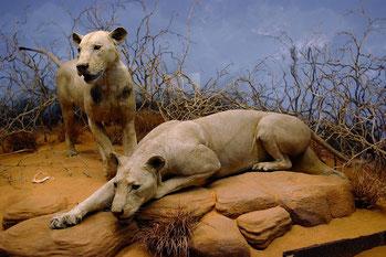 I due leoni imbalsamati nel Field Museum di Chicago