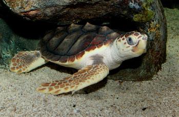 Tartaruga comune (Caretta caretta)