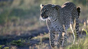 Leopardo - Kenya Vacanze
