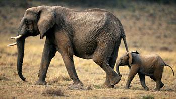 Elefante africano con il piccolo in cammino