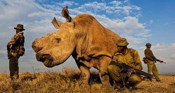 Il rinoceronte Sudan è tenuto sempre sotto stretta sorveglianza da un gruppo di guardie armate
