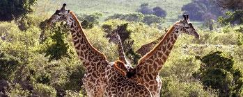 Giraffe - Parco Nazionale Tsavo Ovest