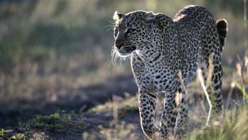 Leopardo - Parco Nazionale Tsavo Est