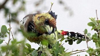 Barbuto testarossa del Kenia - Red and yellow Barbet - (Trachyphonus erythrocephalus erythrocephalus)