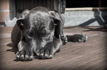 Canine Atopische Dermatitis Hund Hautprobleme allergische Hauterkrankung