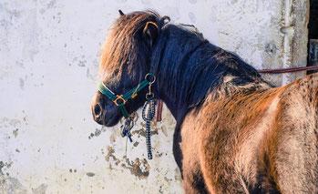 Die Ponys von Equibalance werden für Ponyreiten, Reitunterricht, MUKI Reiten, Kindernachmittage mit den Ponys, Familienausflüge und Kindergeburtstage eingesetzt. Die Ponys sind freundlich und eignen sich prima fürs Kinder Reiten und erfreuen die ganze Fam