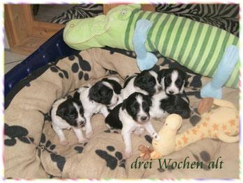 meine Schapendoeswelpen sind auf diesem Bild drei Wochen alt und wohnen bei der Schapendoeszüchterin in Bayern