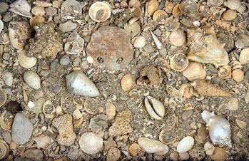 Le falun de l'Ariey, fin du stratotype de l'Aquitanien, RNG Saucats