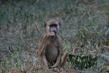 Tiere auf den Safaris in Kenia