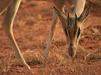 Safaris in Kenia günstige Anbieter für Safaris in Kenia