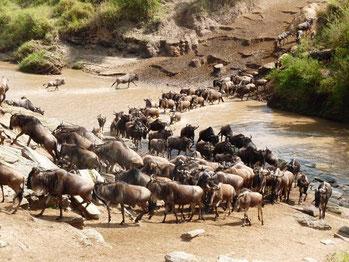 Tierwanderung Masai mara