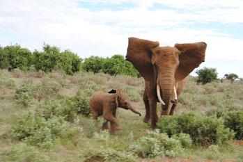 Waisenstation Elefanten Tsavo Ost