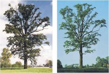 Eiche vor und nach der Kronenauslichtung und Kronenpflege