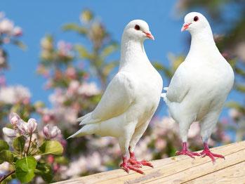 Bild von Tauben
