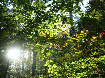 Sonne hinter Blättern im Wald