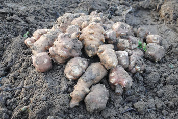 ミモレ農園 農薬不使用 菊芋