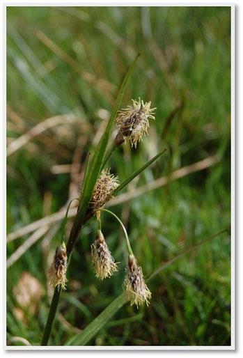 Eriophorum angustifolium © hepia