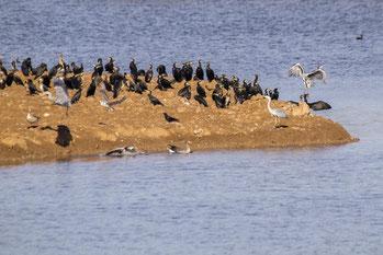 Bereits kurz darauf fanden sich viele Wasservögel ein, darunter Kormorane und Graureiher. - Foto: Kathy Büscher