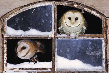 Schleiereulen schauen aus einem Fenster. - Foto: NABU