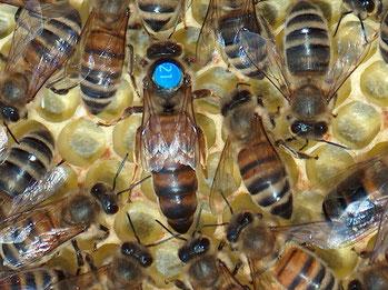 Gekennzeichnete Bienenkönigin