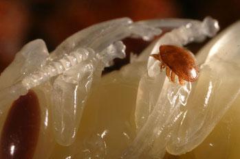Varroamilbe auf Bienenlarve