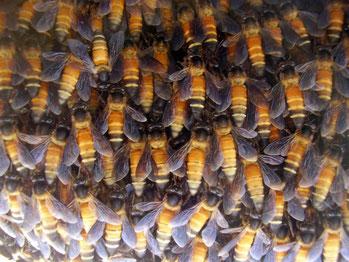Arbeiterinnen der Riesenhonigbiene