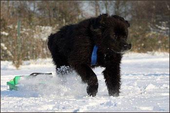 Laines in seinem letzten Winter mit 11,5 Jahren