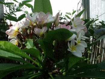 Frangipani          (cursus kennismaken met aromatherapie)