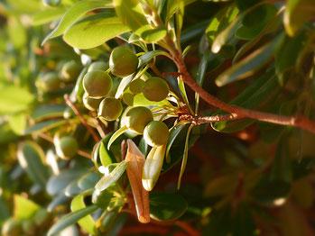 Olivenbäume in den Gärten der Provence