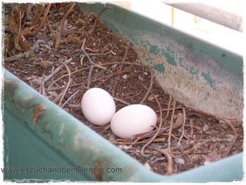 Huevos de paloma en mi jardinera