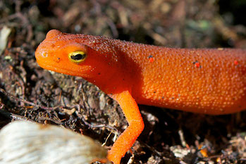 The red eft stage of the Eastern Red-spotted Newt.