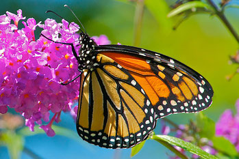A Monarch Buttterfly feeding on the flower of a Butterfly Bush.