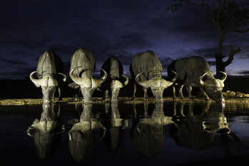 Five Buffalo's and their reflections at night