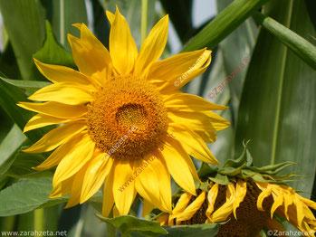 Zarahzetas Texte mit Gelbe Sonnenblume