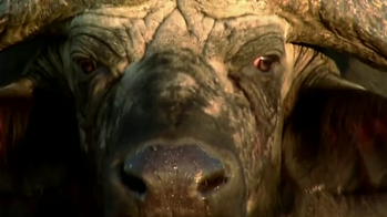 Salviamo il bufalo !