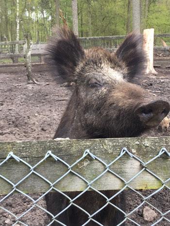 Wildschwein am Zaun