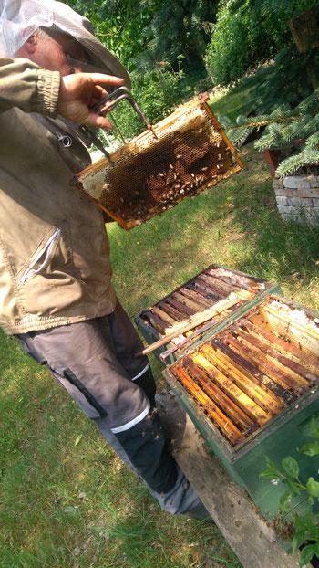 Nils bei der Kontrolle eines Bienenvolks