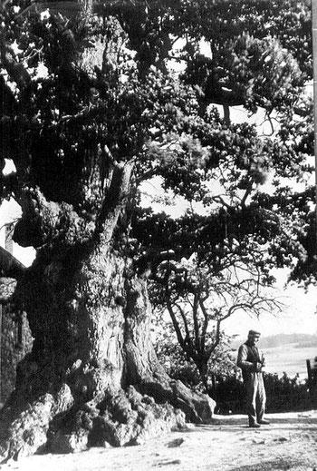 Tausendjährige Eiche von Göstrup, um 1910