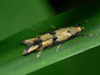 Heinemannia spec.