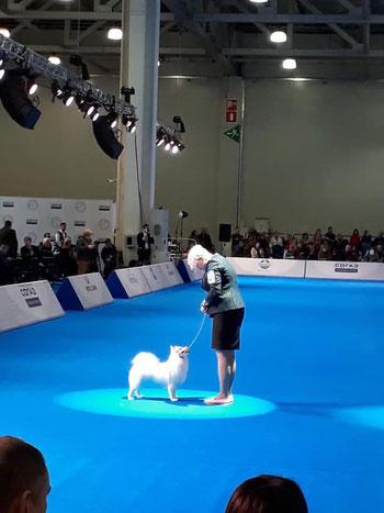 Японские шпицы от Махо Мирай на выставке собак в ринге