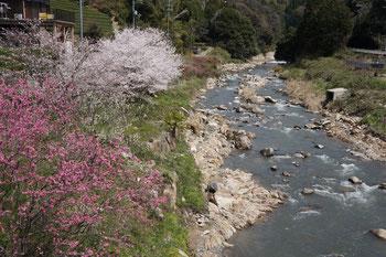 染井吉野と八重桜が咲く小川