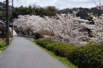 染井吉野の並木道