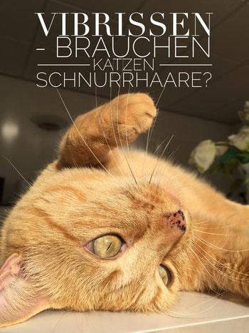 Katze mit Vibrissen - Brauchen Katzen Tasthaare?, Foto: Birgitta Kuhlmey, 11/2015