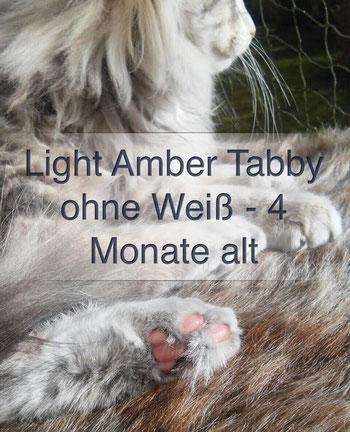 Norwegische Waldkatze, light amber tabby, Foto: waldkatzen-von-la-lea-lil.de