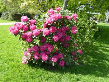 Rhododendron 'El Camino'
