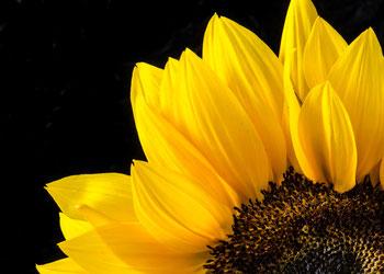 Teil einer Sonnenblume als Makroaufnahme