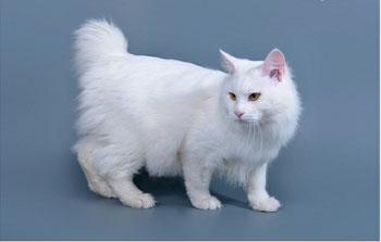 Аборигенная кошка, завезена с Курильских островов.