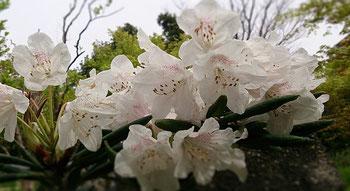 シャクナゲ  花言葉は威厳、荘厳など