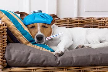 Image d'un chien malade