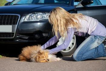Chien renversé par une voiture